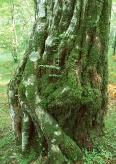 苔藓覆盖的大树树干树根
