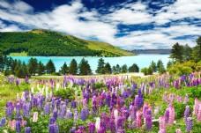 唯美风景薰衣草蓝天白云风景墙