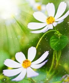 白色雏菊花背景下载