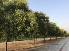 槐树林荫路