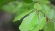 桦树叶靠拢