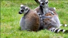 环尾狐猴的清洗