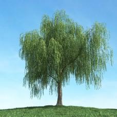 精美柳树模型