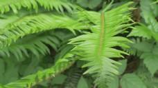 蕨类植物的叶子