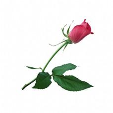 一束玫瑰花素材图片